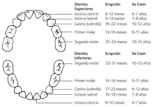 Tabla de erupción de dientes
